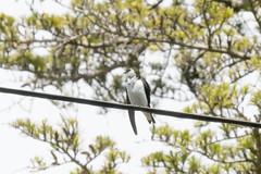 DSC_0918.jpg Violet-green Sparrow, Schwan Lake (ldjaffe) Tags: schwanlake twinlakes violetgreenswallow