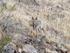 Desert Fauna (Jazzie's Dad) Tags: coyote dog arabycove palmsprings