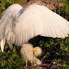 """Like This Mom?"" (PNWheat) Tags: swflorida nest chicks whiteegret waterfowel"