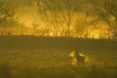 Backlit buck in a hazy morning (adambotond) Tags: backlit haze hazymorning deer roedeer europe európaiőz europeanroedeer buck outdoor landscape nature naturephotography wildlife wild wildlifephotography wilderness wildanimal sunrise capreoluscapreolus capreolus magyarország mammal ruminant animal hungary canon canonef400f4doisiiusm canonefextender2xiii adambotond goldenhour mist field tree morning grass dawn