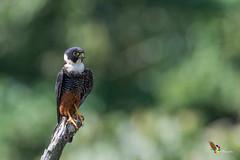 Bat Falcon (fernaabs) Tags: bat falcon falco rufigularis halcón cuelliblanco falconiformes aves falconidae fernaabs burgalin avesdecostarica