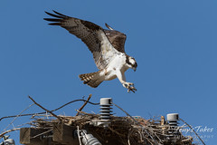 April 3, 2018 - An Osprey comes in for a landing in Adams County. (Tony's Takes)