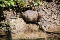 Ratty (alanrharris53) Tags: ratty water vole derbyshire mammal stream river wild cute