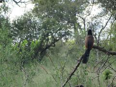 Contemplation (Iris ***) Tags: bird oiseau oiseaux birds coucal burchell contemplation africa afrique afriquedusud southafrica landscape mpumalanga limpopo wildlife