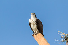Osprey hanging out