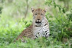 Panthera pardus ♀ (Leopard) - Kruger NP South Africa (Nick Dean1) Tags: pantherapardus leopard animalia chordata cat bigcat southafrica krugernationalpark