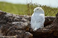 Snowy Owl juvenile male by Jackie B. Elmore 3-27-2018 Taylor Co. KY (jackiebelmore) Tags: nycteascandiaca snowyowl owl taylorcounty kentucky nikon7100 tamronsp150600f563 jackiebelmore kos