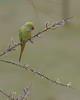 Rose-ringed Parakeet eating the willow catkins (Kees499  Nature pics) Tags: psittaculakrameri keesmolenaar alblasserdam alblasserwaard holland nikon tc14ii afs500f4 nature bird roseringedparakeet willowcatkins halsbandparkiet