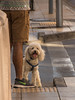 Curiosidad (Eugercios) Tags: perro dog doggy caniche santiago santiagodechile chile gaze mirada curiosidad curiosity pet mascota calle street rua animal downtown centro
