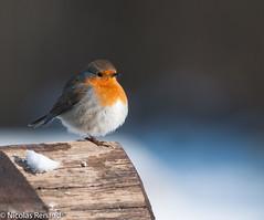 2012-02_oiseau grand canal_52-Modifier-Modifier.jpg (Toto le torcol) Tags: rougegorge neige hiver oiseau animaux tempsclimat animal