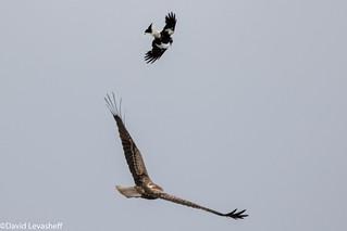 Whistling Kite & Magpie-Lark