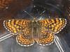 Melitaea cinxia - Glanville fritillary - Шашечница обыкновенная (Cossus) Tags: nymphalidae nymphalinae шашечница 2008 анциферово melitaea fritillary