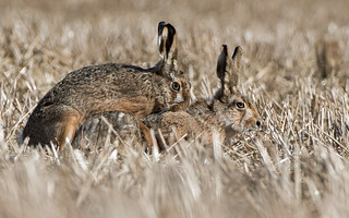 Brown Hare - Love Is In The Air -