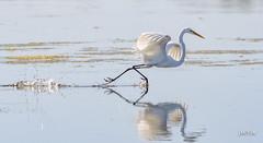 Great Egret (jt893x) Tags: 150600mm ardeaalba bird d500 egret greategret heron jt893x nikon nikond500 reflection sigma sigma150600mmf563dgoshsms coth5 coth thesunshinegroup alittlebeauty