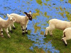 Swamped April Lambs (saxonfenken) Tags: sunday4th 6863animals 6863 swamped field lambs sheep aninal april friendlychallenges pregamesweep
