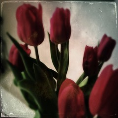 The Deep Soft (MPnormaleye) Tags: iphone tintype utata bouquets leaves soft bloom tulip flowers