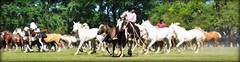 En el entrevero (Eduardo Amorim) Tags: gaúchos gaucho gauchos campeiro campeiros campero camperos cavalos caballos horses chevaux cavalli pferde caballo horse cheval cavallo pferd tropilhas tropilla tropillas crioulo criollo crioulos criollos cavalocrioulo cavaloscrioulos caballocriollo caballoscriollos sanantoniodeareco provinciadebuenosaires tropilha herd troupeau gregge herde iayayam yamaiay pampa pampaargentino pampaargentina argentina areco eduardoamorim