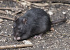 Dark Haired Visitor (DaveGray) Tags: outdoor outside garden hedge canoneos70d brownrat