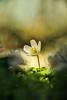 Buschwindröschen (airamatina) Tags: buschwindröschen frühlingsblüher wald nikon d 750