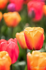 DSC_4713-Edit (spockasmick) Tags: 2018 roozengaarde skagitvalley spring tamron2470mmf28g2 tamron70200mmf28vc tamron90mmvc tulips washington closeup color flowers