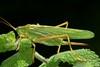 Tettigonia viridissima femelle, la grande sauterelle verte ou great green bush-cricket. (chug14) Tags: unlimitedphotos macro insecte animalia arthropoda hexapoda insecta orthoptera tettigoniidae greatgrennbuskcricket grandesauterelle grandesauterelleverte gryllusviridissimus locustaviridissima tettigoniaviridissima