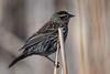 FemaleRedWing (jmishefske) Tags: 2018 redwinged d850 vernon nikon wisconsin blackbird female mukwonago waukesha marsh april