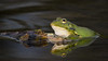 Frosch im Teich 5692 (fotoflick65) Tags: fotoflick65 leopold kepplinger 300mmf4d kenko dgx pro 300 y2018 ym04 d7100 fl420 f9 iso640 iso400800 st320 st200400 frosch teich spiegelung 169 amphibie animal flash sb700