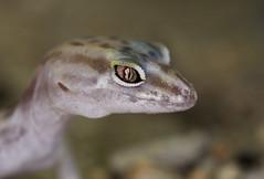 Desert Banded Gecko (brian.magnier) Tags: california desert nature reptiles herps gecko