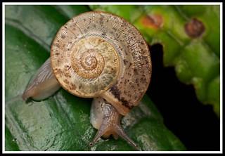 Snail with flagellar spine