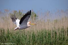 Pellicano _015 (Rolando CRINITI) Tags: pellicano uccelli uccello birds ornitologia ultimafrontiera lagomatita tulcea romania natura deltadeldanubio