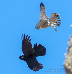 Peregrine Vs Raven (DeeDee Gollwitzer) Tags: peregrine falcon raven raptor attack wings talons deedee gollwitzer falco peregrinus