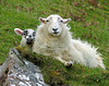 Close to Mommy (Colorado Sands) Tags: sheep skye isleofskye sandraleidholdt animal babyanimal uk gb unitedkingdom greatbritain lamb
