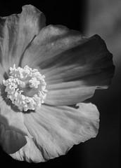Orange California poppy!😊 (LeanneHall3 :-)) Tags: blackandwhite mono californiapoppy poppy petals macro macrophotography closeup closeupphotography flowersarefabulous flowersarebeautiful flowerflowerflower canon 1300d