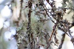 Lichens! (Alenius) Tags: lichen lichens lav lavar sverige sweden höga kusten skuleskogen skuleberget skog svensk natur träd nationalpark high coast