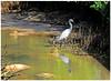 La mangrove de Port Louis ©  héron et ron petit patapon... (philippedaniele) Tags: mangrove marais palétuviers poissons crabes heron aigrette