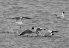 Black-Headed Gulls in Disagreement (Gilli8888) Tags: nikon p900 coolpix northeast nature countryside birds water waterbirds wetlands druridge druridgeponds blackandwhite blackheadedgull seagulls four gulls seabirds seagull
