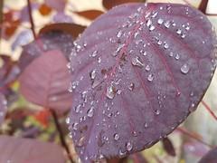 Droplets of rain (M.K.Muruganandan) Tags: leaf droplet water raindrop ella srilanka morning colorful