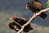 Turkey Vulture (Cathartes aura) (Brown Acres Mark (always 2 days behind)) Tags: turkeyvulture cathartesaura emigrantlake jacksoncounty oregon usa markheatherington vulture
