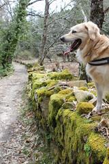 On the Wall (Edu Coquer) Tags: lasbatuecas golden goldenretriever elcaminodelagua mogarraz rutassenderistas senderismo canes mascotas perros wild nature trekking pets dogs