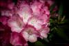 Rhododendron (G. Postlethwaite esq.) Tags: dof derbyshire macro uk beyondbokeh bokeh closeup depthoffield flowers fullframe leaves petals photoborder plant rhododenron selectivefocus
