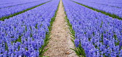 The Hyacinth Path (romanboed) Tags: leica m 240 summilux 50 europe netherlands holland dutch flower fields flowers field farm agriculture agribusiness spring jaro holandske kvetiny jarni hyacinths bokeh