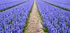 The Hyacinth Path (romanboed) Tags: leica m 240 summilux 50 europe netherlands holland dutch flower fields flowers field farm agriculture agribusiness spring jaro holandske kvetiny jarni hyacinths bokeh
