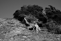 Tree on the Slope 2 Mono (TheseusPhoto) Tags: monochrome monotone blancoynegro blackandwhite tree nature naturephotography natureporn roots branches bark hill landscape anseladams