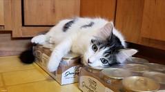 5 Minute Break (Lisa Zins) Tags: noah lisazins cat feline kitten mainecoonmixkitten mainecoonmix petsandanimals pets animals samsung galaxy s8 2018 white resting fancyfeast
