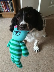 Billy's new toy from the charity shop ☺️ (SteveH1972) Tags: huawei9plus huawei phone mobilephone springer englishspringerspaniel springerspaniel dog cute pet mobile animal toy home livingroom carpet northlincolnshire lincolnshire uk inside indoor indoors britain 2018