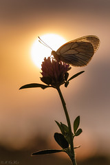 Baum-Weißling im Sonnenuntergang (MC-80) Tags: aporia crataegi baumweisling im sonnenuntergang