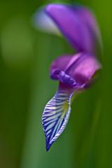 Dragon Flower (pstenzel71) Tags: blumen natur pflanzen iris schwertlilie dragonflower darktable flower bokeh spring