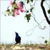 F_47A1047-1-Canon 5DIII-Canon 70-300mm-May Lee 廖藹淳 (May-margy) Tags: maymargy 鳥 藍色 樹木 花 粉紅 草坪 羽翼 天馬行空鏡頭的異想世界 mylensandmyimagination 心象意象與影像 naturalcoincidencethrumylens 伊莉莎白女王國家公園 烏干達 f47a10471 bird featherandwings blue tree grass flowers pink queenelizabethnationalpark uganda canon5diii tamron28300mm maylee廖藹淳