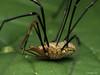 Famille Phalangiidae - Opilio parietinus (mâle) (Répertoire des insectes du Québec) Tags: arachnide araignée arachnida macro quebec spider