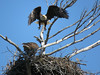 Protect what you love.... (Laura Rowan) Tags: eagle americanbaldeagle mooseheart spring flight bird birding raptor